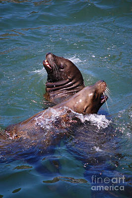 Poster featuring the photograph Playing Pair Of Sea Lions by Debra Thompson