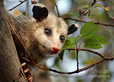Playing Possum Poster by Nikolyn McDonald