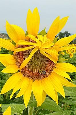 Pleading Sunflower Poster