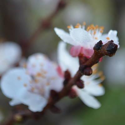 Plum Blossom 1.1 Poster by Cheryl Miller
