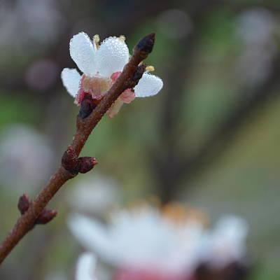 Plum Blossom 1.3 Poster by Cheryl Miller