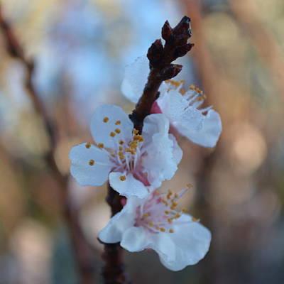 Plum Blossom 1.5 Poster by Cheryl Miller
