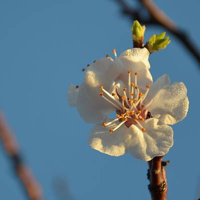 Plum Blossom 1.6 Poster by Cheryl Miller