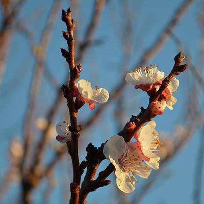 Plum Blossom 1.7 Poster by Cheryl Miller