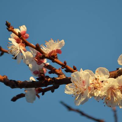 Plum Blossom 1.8 Poster by Cheryl Miller