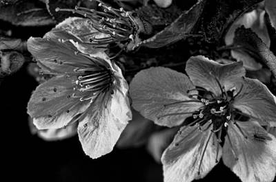 Poster featuring the photograph Plum Blossoms   Black   White by Robert Culver
