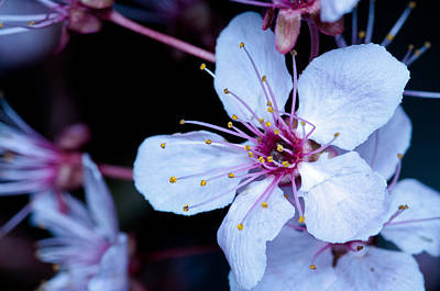 Poster featuring the photograph Plum Tree Blossom IIi by Robert Culver