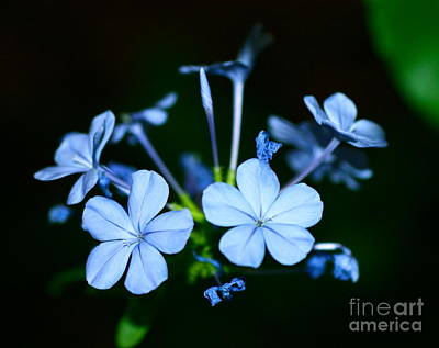 Poster featuring the photograph Plumbago Blue by Cathy Dee Janes