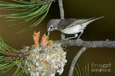 Plumbeous Vireo Feeding Chicks In Nest Poster by Anthony Mercieca