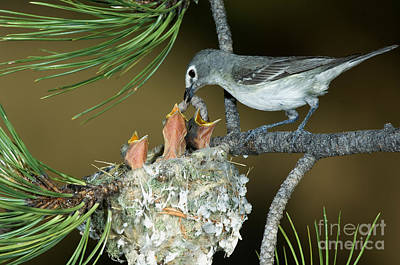 Plumbeous Vireo Feeding Worm To Chicks Poster by Anthony Mercieca