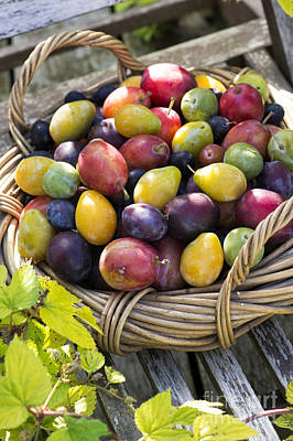 Plums In A Basket Poster by Tim Gainey