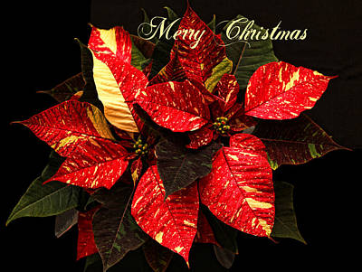 Poinsettia Christmas Poster by Judy Vincent