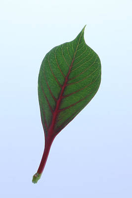 Poinsettia Leaf Poster by Richard Stephen