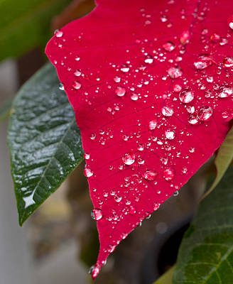 Poinsettia With Raindrops Poster