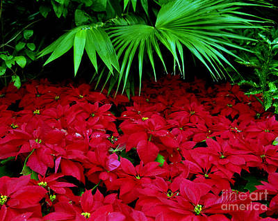 Poster featuring the photograph Poinsettias And Palm by Tom Brickhouse
