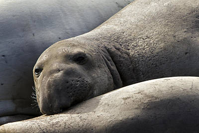 Point Piedras Blancas Elephant Seal 1 Poster