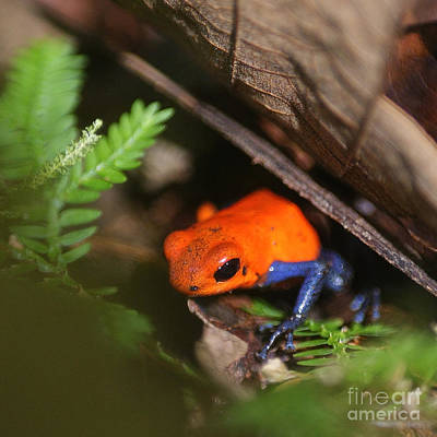 poison dart frog from Costa Rica Poster by Rudi Prott