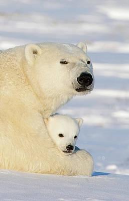 Polar Bear And 12 Week Old Cub Poster