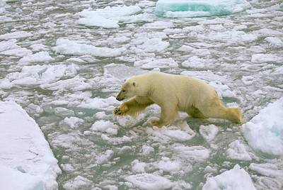 Polar Bear Crossing Ice Floes Poster by Peter J. Raymond