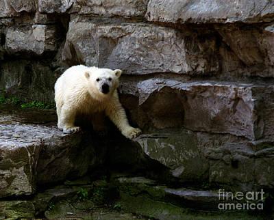Poster featuring the photograph Polar Bear Cub by Tom Brickhouse