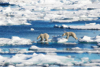 Polar Bear Cubs In Svalbard Poster by June Jacobsen