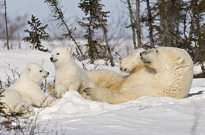 Polar Bear Family Playing In The Snow Poster