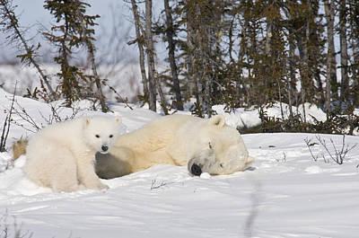 Polar Bear Mother Sleeps As Her Cub Looks Around Poster