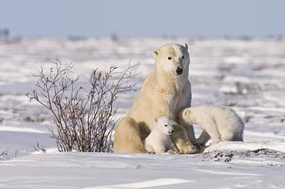 Polar Bear Nurses Cubs Poster