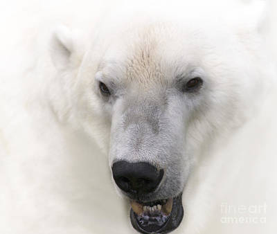 Polar Bear Portrait Poster by Heiko Koehrer-Wagner