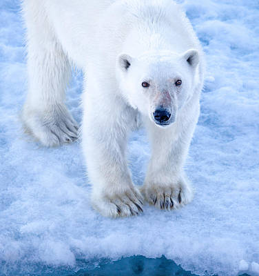 Polar Bear Portrait In Svalbard Poster