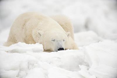 Polar Bear Sleeping In The Poster