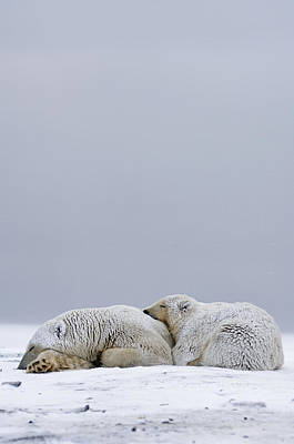 Polar Bear Sow With Cub Resting Poster by Steven Kazlowski