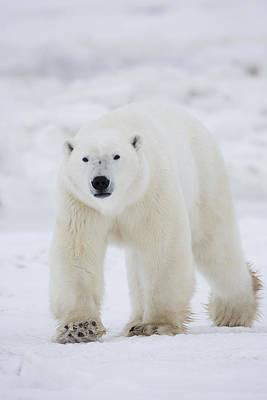 Polar Bear Walking Across Snow And Poster by Robert Postma