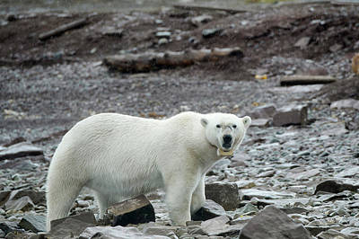 Polar Bear With Satellite Tracking Collar Poster by Dr P. Marazzi