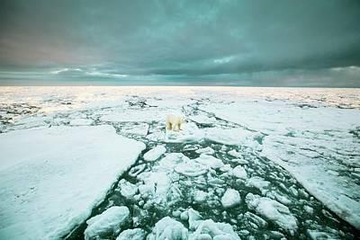 Polar Standing On An Ice Floe Poster by Peter J. Raymond