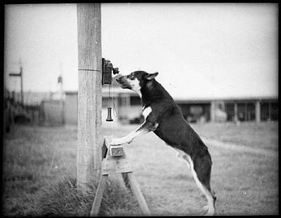 Police Dog On Phone Poster by Historic Photos