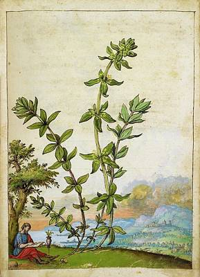 Poligonum Aviculare Plant Poster by British Library