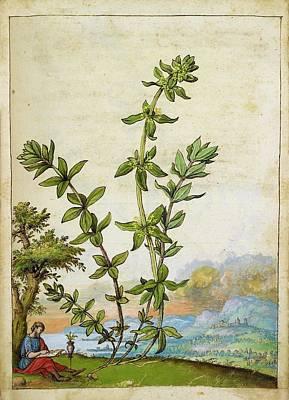 Poligonum Aviculare Plant Poster