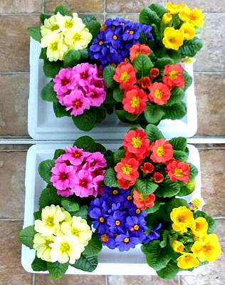 Polyanthus Primroses Poster by Will Borden