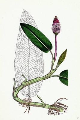 Polygonum Amphibium Natans Amphibious Bistort Aquatic Form Poster