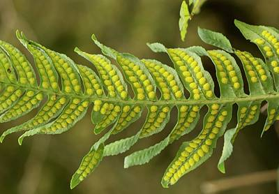 Polypodium Interjectum With Spores Poster