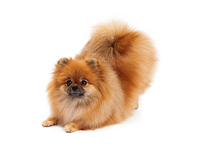 Pomeranian In Downdog Position Poster