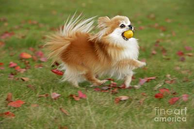 Pomeranian Running Poster by Rolf Kopfle