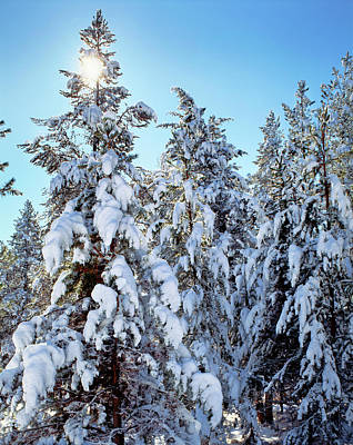 Ponderosa Trees Covered In Fresh Winter Poster