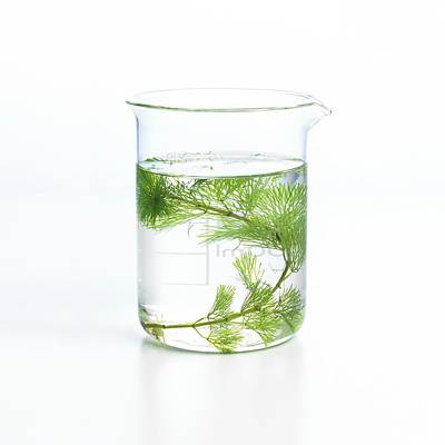 Pondweed Photosynthesis Poster