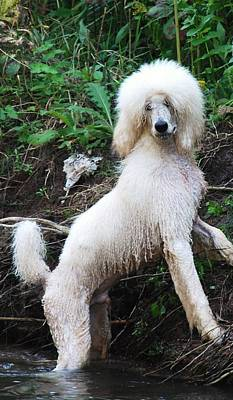 Poodle In The Forest Poster