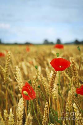 Poppies In Grain Field Poster