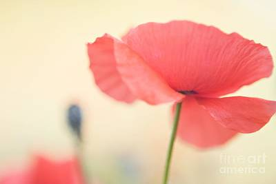 Poppies Poster by Kim Fearheiley