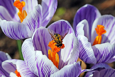 Poster featuring the photograph Popping Spring Crocus by Debbie Oppermann