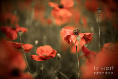 Poppy Dream Poster by Nailia Schwarz